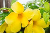 picture of trumpet flower  - Golden Trumpet flower or Allamanda cathartica in the garden or nature park - JPG
