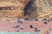 Sea lions, Islas Ballestas, Peru