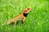 lizard strolling in the grass