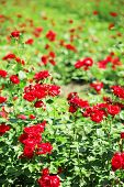 Beautiful red roses on green bush