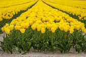 Yellow Tulip Filed