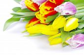bouquet of the tulips on white background