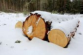 Three pine logs under snow in forest