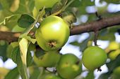 Green apple tree in summer time