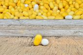 Silkworm Cocoon, Yellow And White Silk Worm