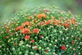Red Chrysanthemum Bush In Flowerpot