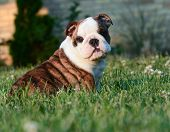 cute english bulldog puppy sitting in the grass