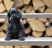 american cocker spaniel puppy sitting on riser of stairs with wood pile in the background