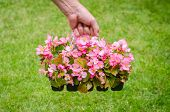 image of begonias  - Hand holds container of the pink blossom begonia in the garden - JPG