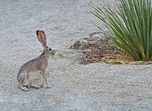 stock photo of desert animal  - Jackrabbit sitting on sand in the desert - JPG