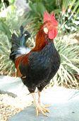 Bermuda Rooster