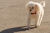 Poodle walking with shadow
