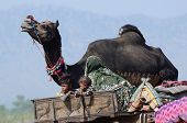 Nomadic tribal family from Thar desert preparing to traditional camel fair holiday at Pushkar