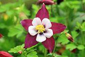 Columbine flower and buds