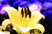 Easter Lily,Longflower Lily