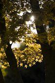 Autumnal Leaves Of Maple Tree