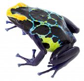 pic of poison arrow frog  - poison frog dendrobates tinctorius on white - JPG