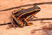 poison arrow frog Ameerega trivittatus a tropical amphibian fromthe Amazon jungle