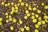 Maclura Pomifera Tree Fruits
