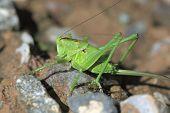 green grasshopper sit on a stone