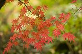 Maple Tree Leaves In Autumn