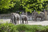 stock photo of schoenbrunn  - Three Elephants at Zoo Vienna Schoenbrunn  - JPG