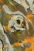 Cypress Tree Bark Detail