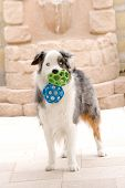 Australian Shepard And Toy Balls