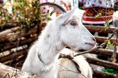 white goat in rural atmosphere 2015 symbol