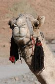 pic of camel-cart  - Arabian camel or Dromedary  - JPG