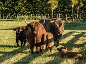 image of cattle breeding  - Family group of some highland brown cattle - JPG