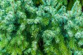 Branches of spruce.