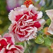 carnation flower closeup natural background