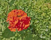 red geranium bunch closeup