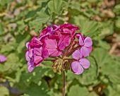 dark pink geranium bunch closeup