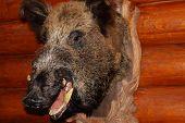Closeup Of Stuffed Wild Boar Head With Fangs Hanging On Wooden Wall Log