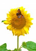 Butterfly Sitting On A Sunflower Isolated On A White Background