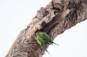 Two Green Parakeets Perched On An Old Tree Trunk