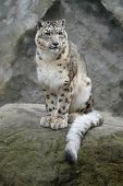 Snow leopard (Panthera uncial).