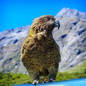Parrot Kea