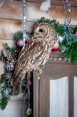 Tawny or Brown Owl on window. Christmas
