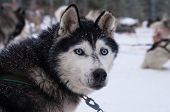 foto of sled-dog  - Husky dog with penetrating blue eyed gaze - JPG