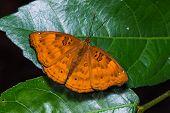 Black Prince Butterfly