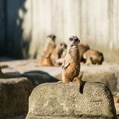 family of meerkats  on a warm autumn evening