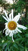 Very old daisy
