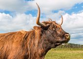 picture of highland-cattle  - Long horns on this highland brown cow - JPG