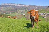Cow On Pasture Pasturage