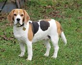 gun dog, beagle