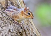 stock photo of chipmunks  - A Chipmunk perched on a tree stump - JPG