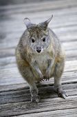 stock photo of red-necked  - this is a close up of a red necked pademelon - JPG